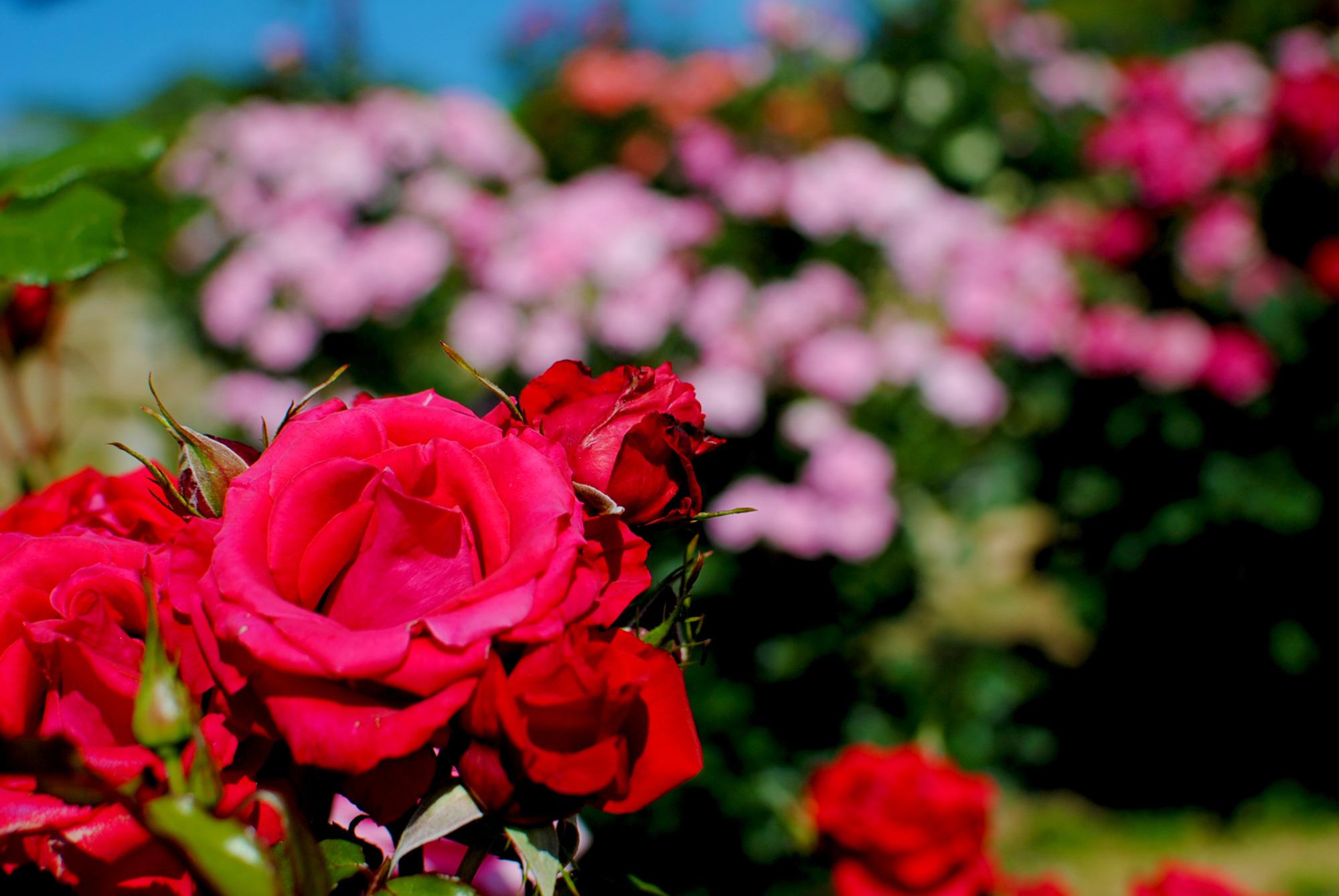 Rosesの写真