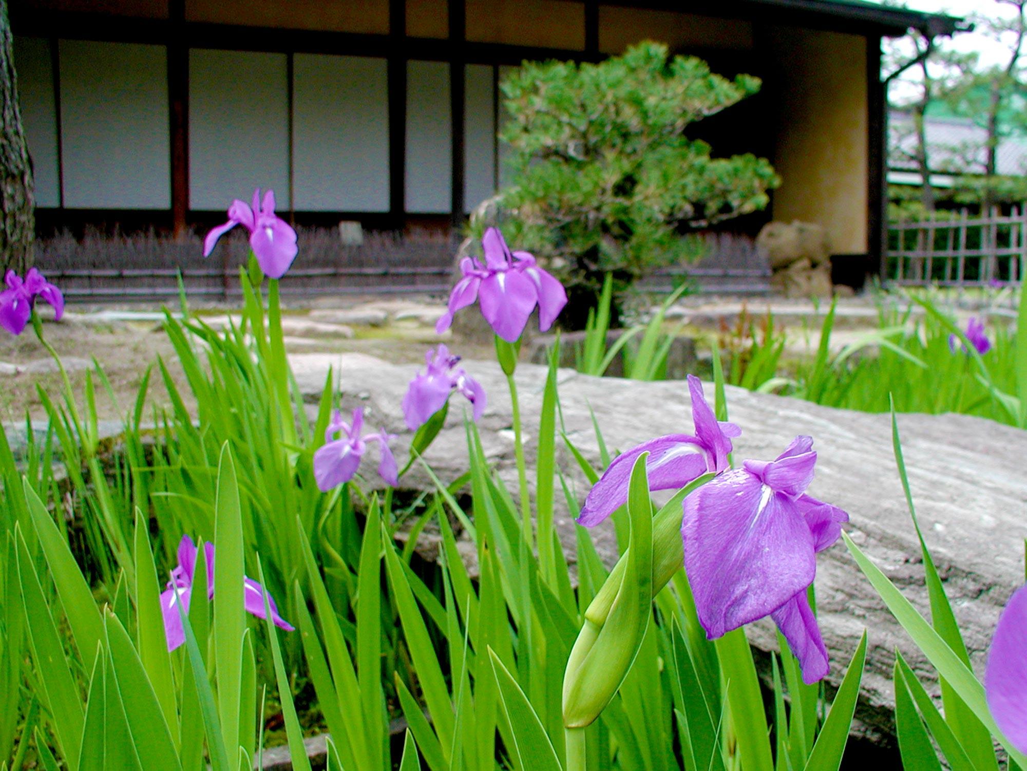 Irisの写真