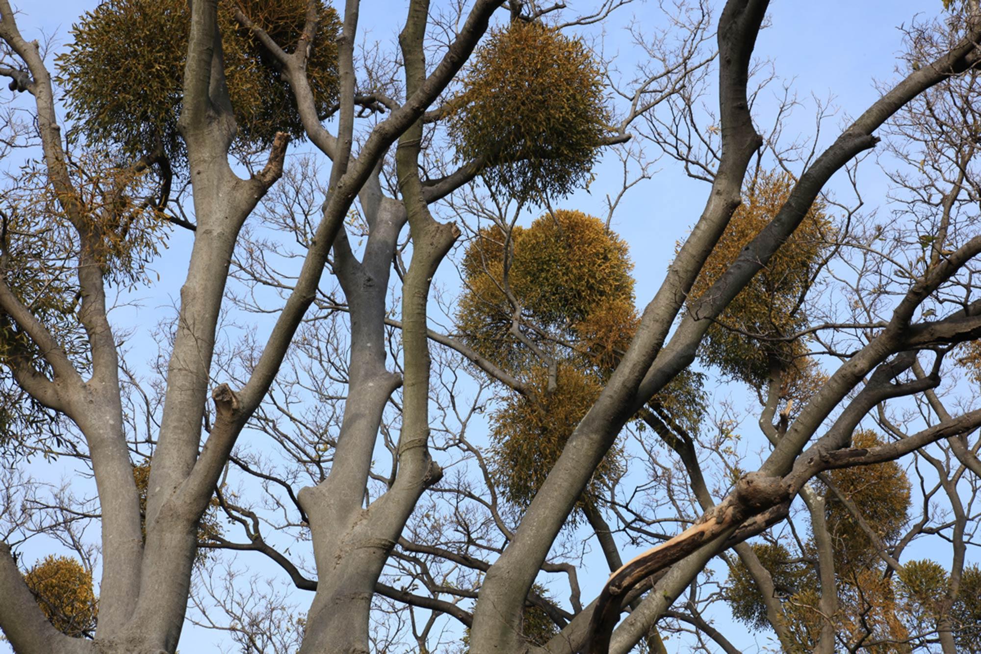 Under the Mistletoe at Wakayama Castle ©Motonori Takedaの写真