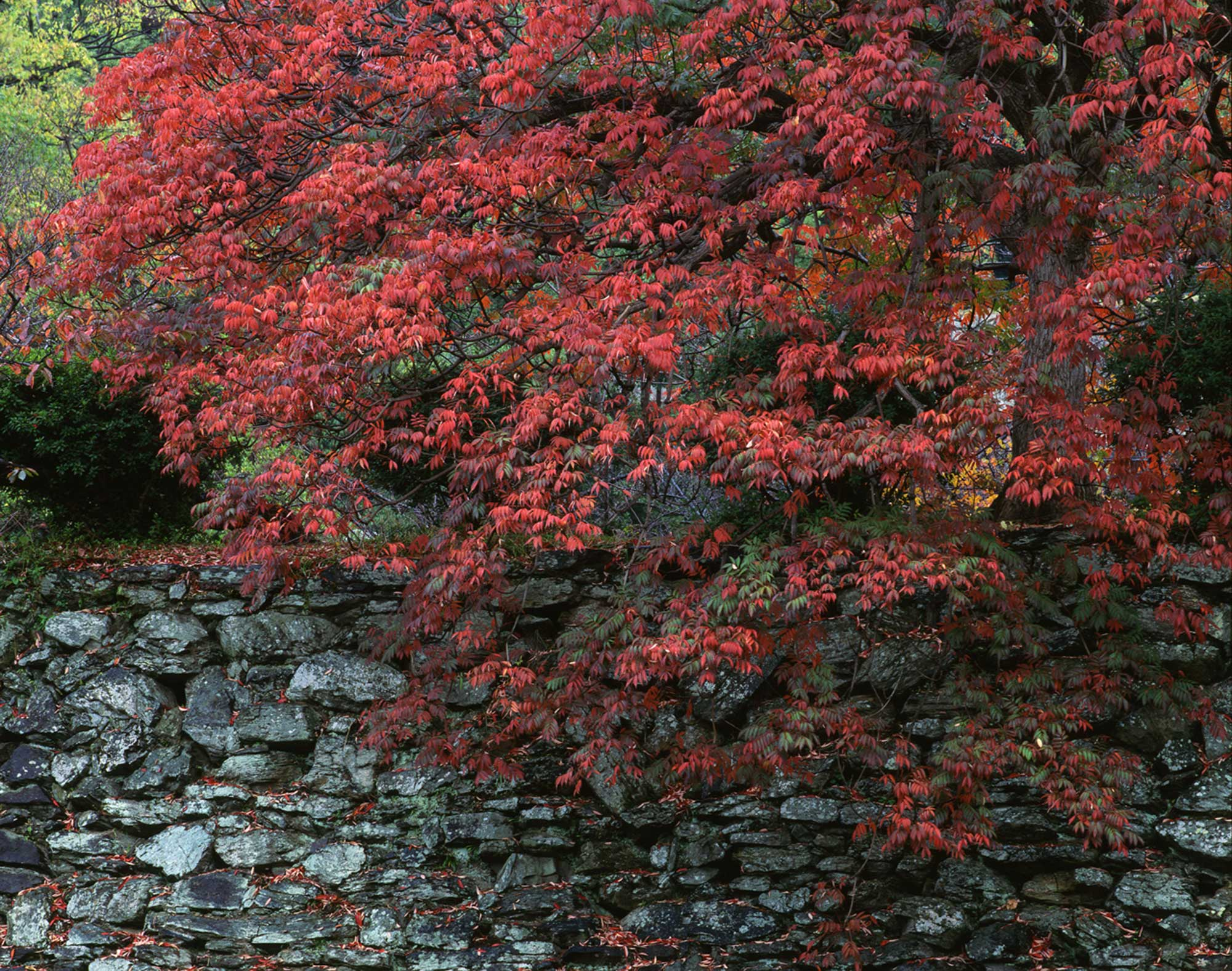 Japanese Wax Tree beginning to turn red at Wakayama Castle ©Motonori Takedaの写真
