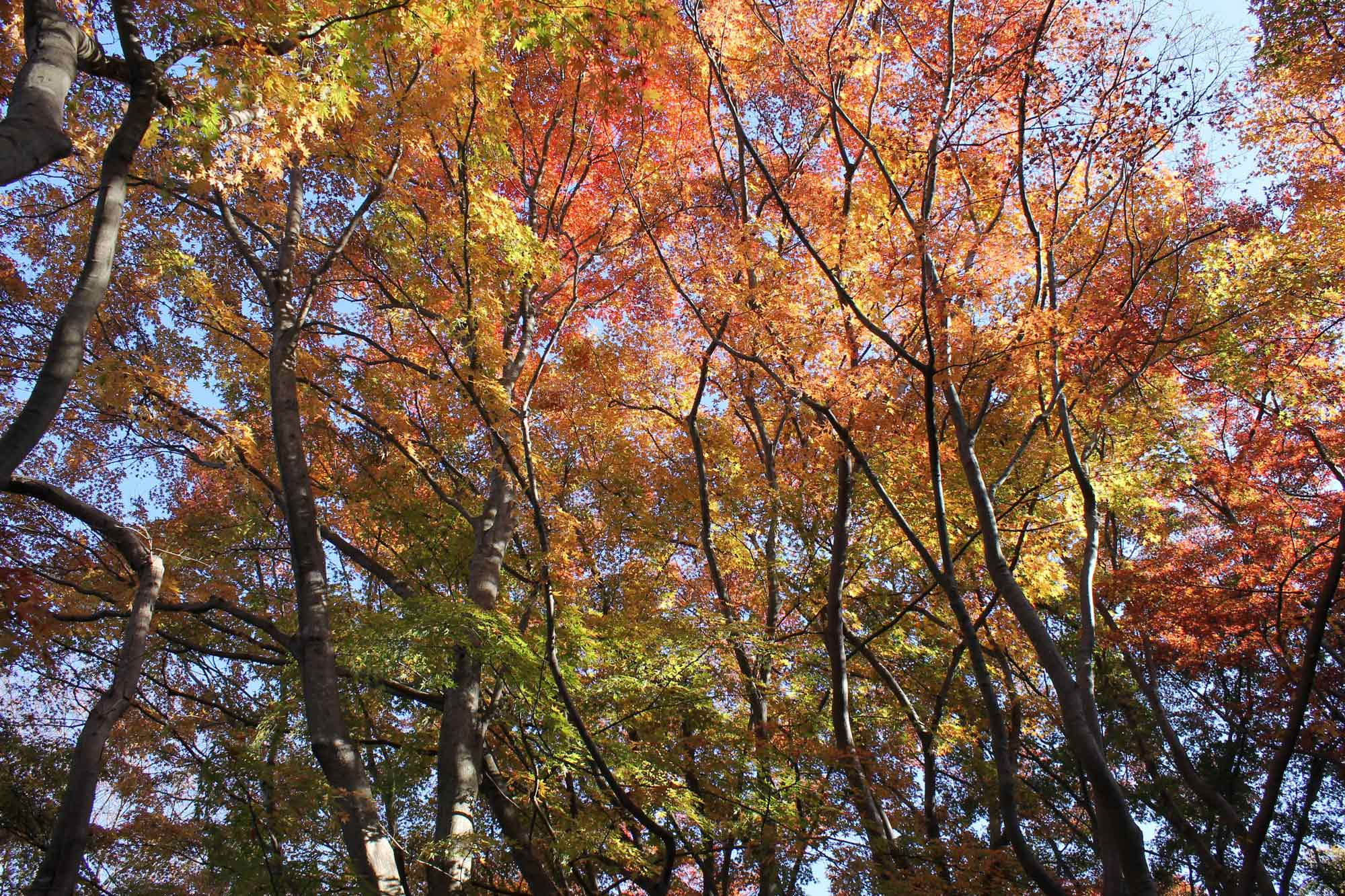 Autumnal forest in the park(The best time is from mid-November to mid-December)の写真