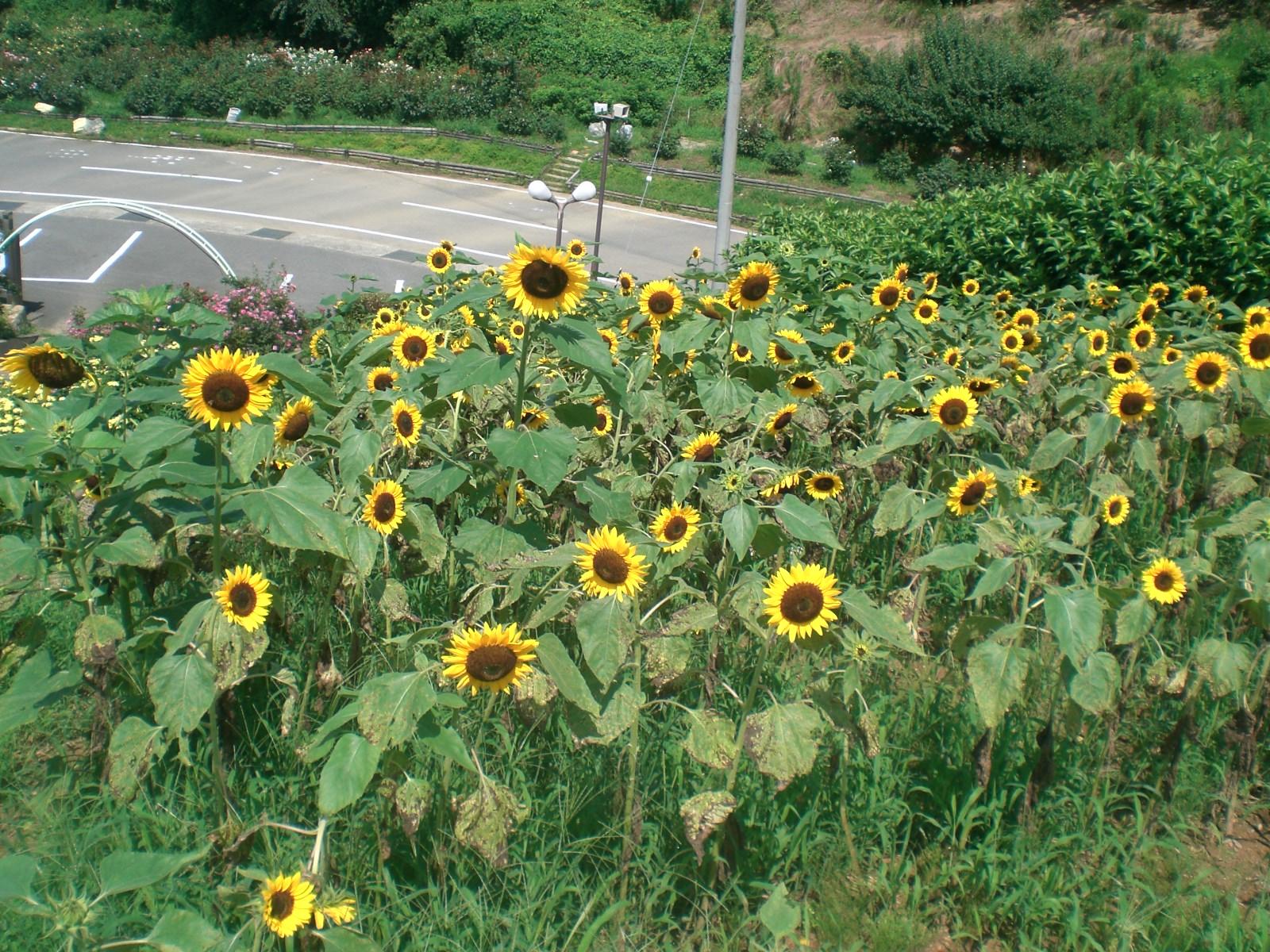 Sunflowerの写真